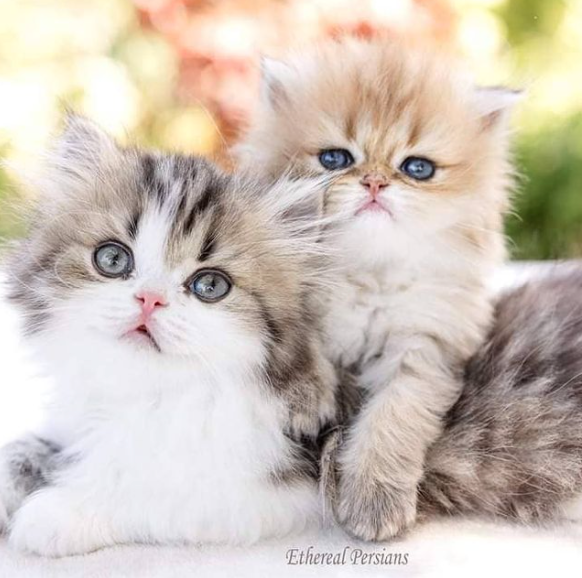 ethereal persians